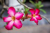 image of desert-rose  - Desert rose or Impala lily - JPG