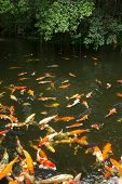 picture of common  - Common carps swimming in water - JPG