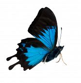 picture of blue butterfly  - macro photo of blue butterfly isolated on white background - JPG