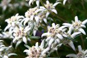 picture of edelweiss  - Edelweiss flower  - JPG