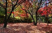 picture of fallen  - Autumn deciduous trees and freshly fallen leaves in a myriad of red orange brown and golden tones - JPG