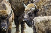 pic of aurochs  - Wisent European bison in Poland on the nature - JPG