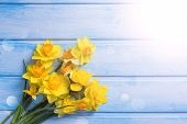 picture of daffodils  - Bright yellow daffodils flowers in ray of light on blue painted wooden planks - JPG