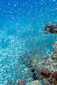 picture of sweeper  - Shoal of glassfishes  - JPG