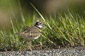 stock photo of killdeer  - A small killdeer stands by a clump of grass - JPG