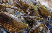 image of cuttlefish  - In the picture a group of black cuttlefish fresh Mediterranean sold to the market  - JPG