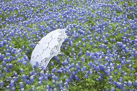 picture of bluebonnets  - A white lace parasol sits in a field of Texas bluebonnets during spring - JPG