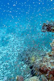 stock photo of sweeper  - Shoal of glassfishes  - JPG