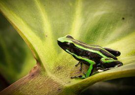 stock photo of poison arrow frog  - poison dart frog - JPG