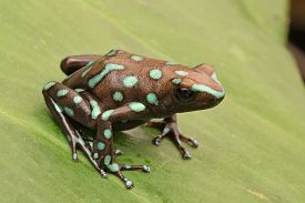 picture of poison arrow frog  - tropical poison dart frog from the exotic rain forest of Panama - JPG