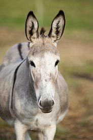 picture of headstrong  - donkey portrait frontal of head with long ears - JPG