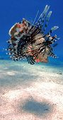Постер, плакат: Colorful Lionfish