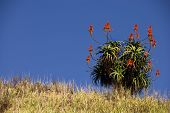 pic of fynbos  - Red Aloe Vera plant on hill top on a sunny day in south africa amongst tall grass - JPG