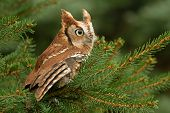 image of screech-owl  - A capture of a red eastern screech owl - JPG