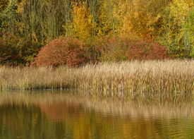 stock photo of bull rushes  - taken at a country park in october  - JPG