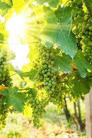 stock photo of cluster  - Green Blauer Portugeiser grape clusters in vineyard - JPG