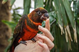 stock photo of finger-licking  - A Dusky Lori being handled and licking the persons finger. ** Note: Soft Focus at 100%, best at smaller sizes - JPG
