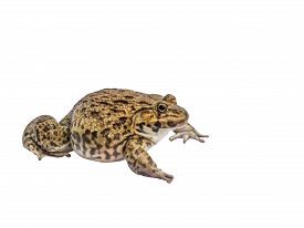 picture of cute frog  - Frog isolate white background with clipping path - JPG