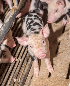 picture of pig  - Adorable baby pig in iron cage cute new born pig - JPG