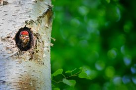 pic of woodpecker  - Young great spotted woodpecker looking out from holein birch tree with green background - JPG