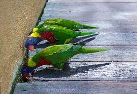 foto of lorikeets  - curious look of colorful trichoglossus or lorikeet - JPG