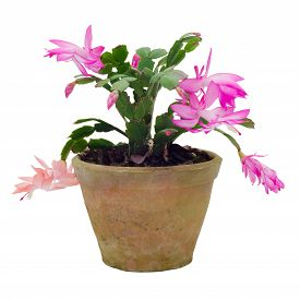stock photo of schlumbergera  - Christmas Cactus  - JPG