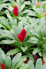 stock photo of bromeliad  - red pineapple flower blooming in garden, bromeliad flower