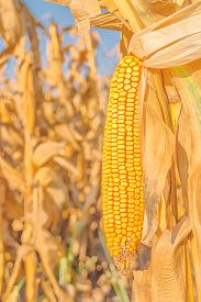 picture of corn cob close-up  - Corn field harvest ready mature corn cob ear on stalk in cultivated maize field close up with selective focus - JPG