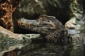 image of crocodilian  - Smooth - JPG