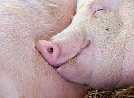foto of pig  - Close up of carefree pig sleeping with other pigs in the barn - JPG
