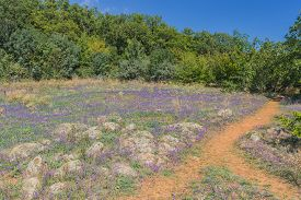 picture of clary  - Flowers on a green plateau above the gulf in coast of Black sea - JPG