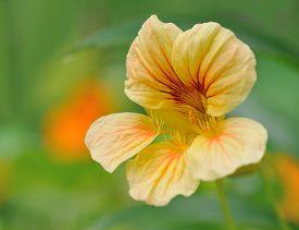 stock photo of nasturtium  - nasturtium in flower bed  in summer  garden closeup - JPG