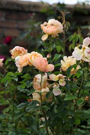 picture of english rose  - Beautiful English Roses in garden setting surrounded by green leaves - JPG