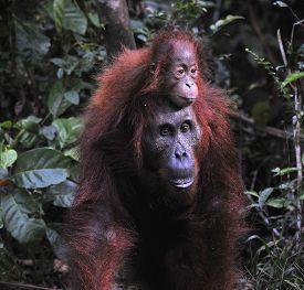 foto of orangutan  - Mother and baby orangutan  - JPG