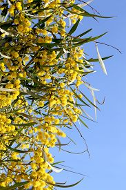 image of mimosa  - branch of mimosa plant with round fluffy yellow flowers - JPG