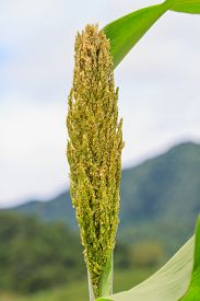 picture of sorghum  - Sorghum or Millet field with blue sky background - JPG