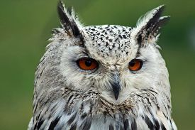 picture of wise  - beautiful wise orange eyed owl Close up - JPG