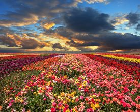 picture of buttercup  - Buttercups blooming garden - JPG