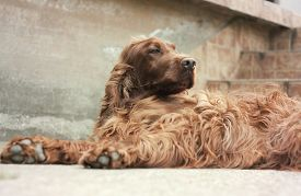 picture of irish  - Beautiful lazy Irish Setter looking on the ground - JPG