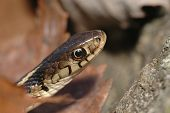 foto of harmless snakes  - A macro image of the head of an eastern garter snake - JPG