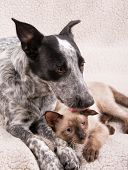 Young Heeler dog licking a small Siamese cat on the head, a sweet and affectionate moment between an poster