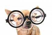stock photo of seeing eye dog  - a cute chihuahua with glasses - JPG