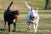 stock photo of dog park  - running white and black dog - JPG
