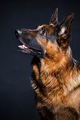 image of german shepherd  - Portrait of German shepherd in studio on black background - JPG