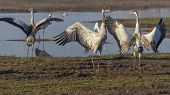 Dancing Cranes. Common Crane In A Natural Bird Habitat. Birdwatching In The Hula Valley At Sunrise poster