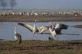 Dancing Cranes. Common Cranes In Birds Natural Habitats. Bird Watching In Hula Valley, Nature Reserv poster