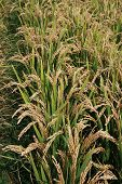 image of ares  - rice scenery in rural ares north china - JPG