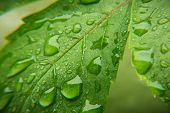 Rain Drops On Green Leaf Nature Background. Nature Background Of Green Leaves. Tree Leaves Nature Ba poster