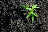 Cannabis Seedling, Cultivated By Hemp Farmers To Produce Different Types Of Cbd Products. Low Thc Te poster
