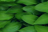 Green Leaves Background, Close Up. Beautiful Nature Background. Green Leaves, Horizontal Shot. poster